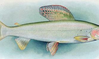 Білий байкальський харіус: фото, опис цінної риби