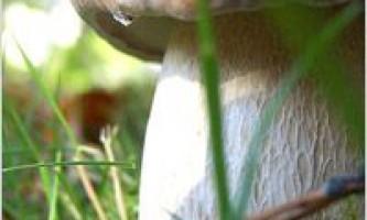 Білий гриб фото опис