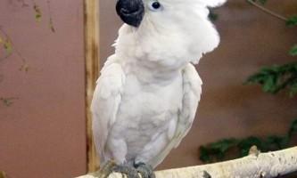 Білий какаду альба: в природі і домашніх умовах