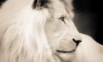 Білий лев - жива легенда