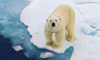 Білий ведмідь - цар півночі