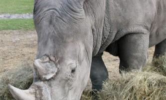 Білий носоріг: чому білий?