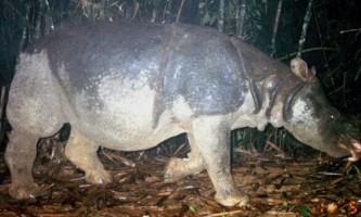Останній яванський носоріг був знайдений у в`єтнамі мертвим