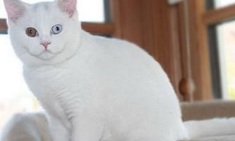 Біле забарвлення британських кішок
