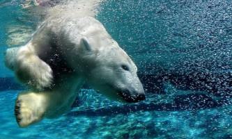 Білий полярний ведмідь