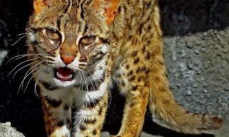 Бенгальська домашня кішка: приборкання норовливої
