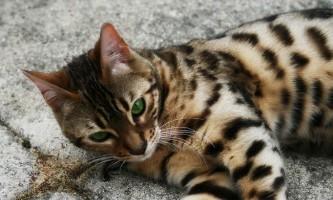 Бенгальська кішка (бенгал)