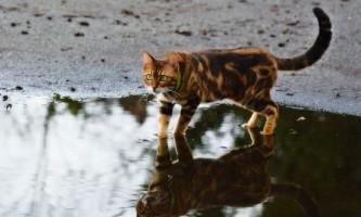 Бенгальська кішка: фото кошенят і дорослих тварин