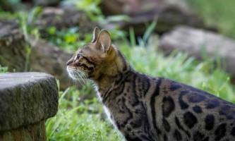 Бенгальська кішка: характер і поведінку