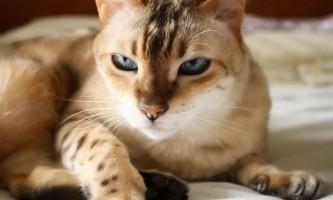 Бенгальська кішка: відгуки власників