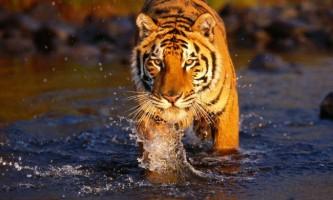 Бенгальські тигри сіли на вимушену дієту