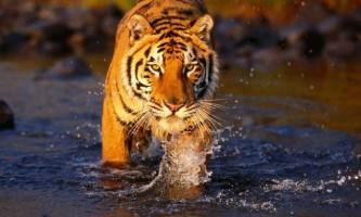Бенгальські тигри в природі: найцікавіші факти