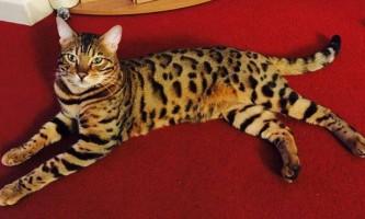 Бенгальський кіт довів, що може співати не гірше людей