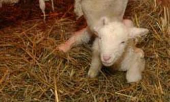Вагітність і окот у овець: підготовка до ягнения, прийняття пологів