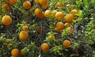 Берегомет, або апельсин-бергамот (citrus bergamia)