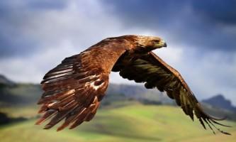 Беркут - золотий орел