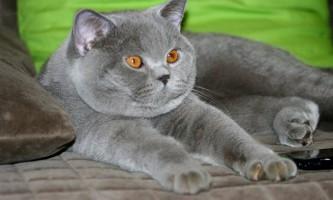 Сказ у котів: ознаки і симптоми