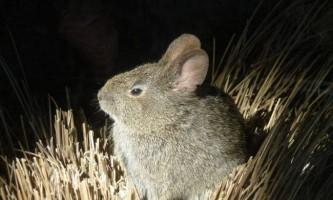 Безхвостий кролик, він же - вулканічний