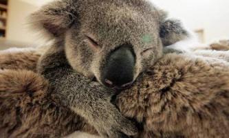 Безмежна любов дитинча коали до своєї мами