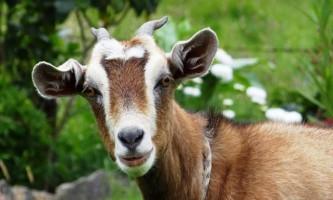 Безоаровий козел: прабатько домашніх кіз