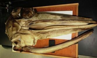 Беззубі кити використовують кістки як слухового апарату