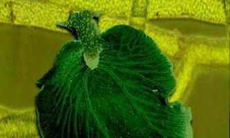 Біологи довели справжність гібрида тваринного і рослини