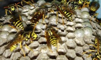 Біологи досліджували симбіоз бджолиного вовка і бактерій