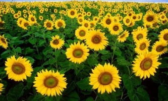 Біологи пояснили, навіщо соняшники повертаються до сонця