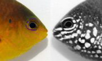 Біологи виявили у риб секретну систему комунікації