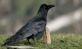 Біологи відкрили вміння воронів вважати символи