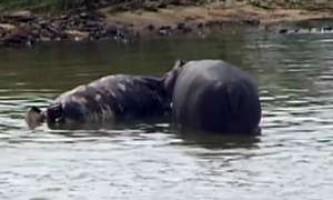 Біологи зняли на камеру гіпопотамів-канібалів