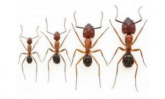 Біологи створили мурах потрібного розміру
