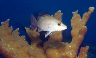Біологи вперше почули спів молодих риб