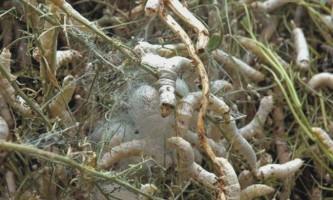 Біологи вивели генетично модифікованих черв`яків-шовкопрядів