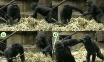 Біологи застали горил за грою в хованки