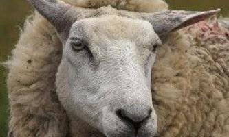 Біологічні особливості овець