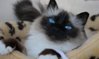 Бірманська кішка, або священна бірма