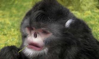 Бірманська кирпата мавпа (rhinopithecus strykeri)