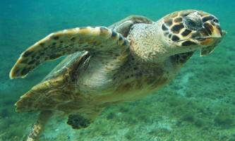 Бісса - рідкісна черепаха