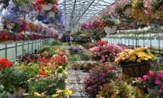 Бізнес на квітах, вирощуємо в теплиці самі