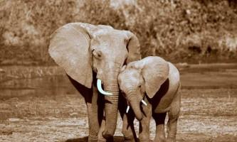 Бізнес на кістках: чим загрожує незаконна торгівля слоновою кісткою в гонконзі?
