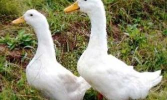 Благоварский крос качок - одна з найбільш вигідних порід