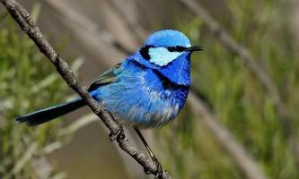 Блискучий розписного малюр - романтична птах