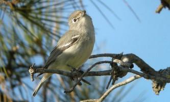Близькоспоріднені види птахів по-різному реагують на шумове забруднення
