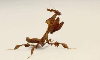 Богомол-привид - особливості проживання в природі і в неволі