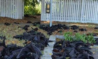 Більше 5000 летючих лисиць загинуло загадковою смертю