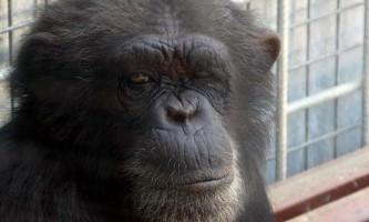 Шимпанзе на прізвисько джина з іспанського зоопарку підсіла на фільми для дорослих