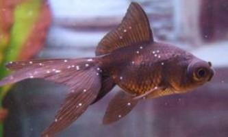 Хвороба акваріумних рибок - манка