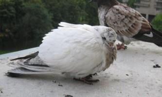 Хвороби голубів і їх лікування