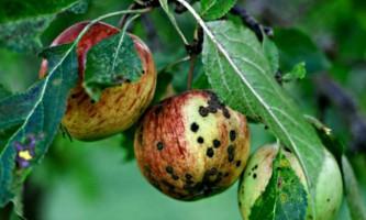Хвороби яблунь і методи лікування